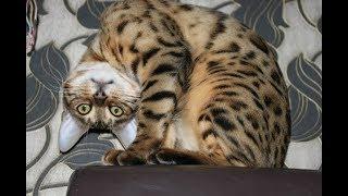 Характер Бенгальской кошки. Об этом скажут её игры. Часть 2.