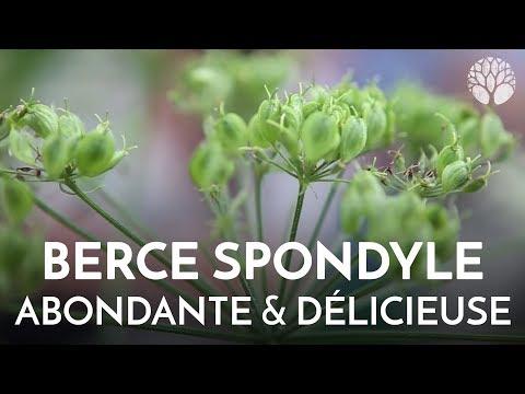 BERCE, plante sauvage comestible abondante et délicieuse