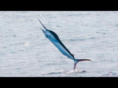 Марлины на охоте (Marlin)