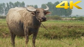 Sony 4K Demo: Cambodia
