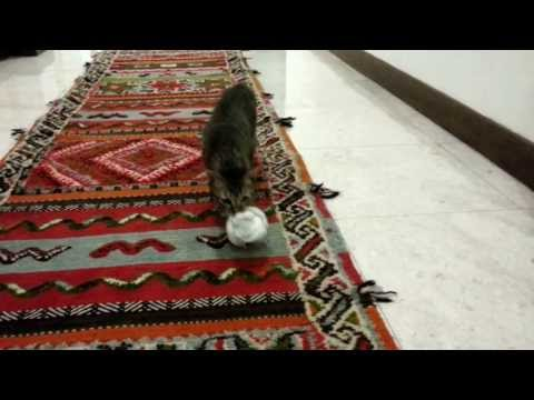June the smart cat playing fetch