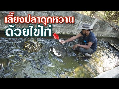 สุดยอด⁉️ วิธีเลี้ยงปลาดุกหวาน ด้วยอาหารเสริมแนวใหม่ ไข่ไก่รั้งรัง #อุทยานบ้านสวน