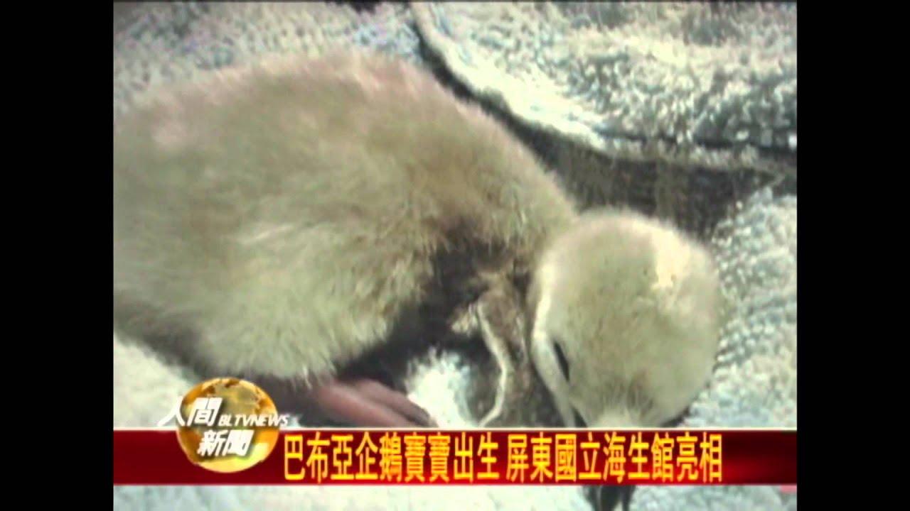 20111103巴布亞企鵝寶寶出生 屏東國立海生館亮相 - YouTube