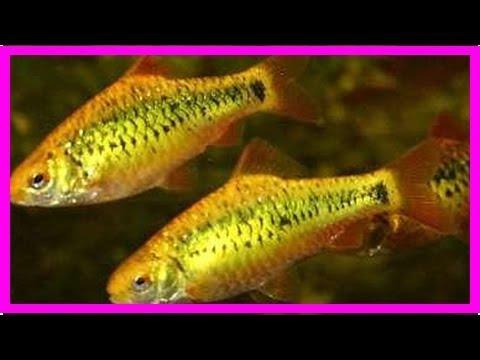 Gold Barbs: Care And Good Tank Mates For This Aquarium Fish