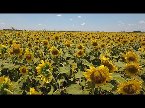Sunflowers from Gilliam Louisiana (Drone Video)