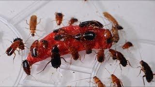 大量のゴキブリに激辛ジョロキアをあげて見た結果…衝撃の結末に!