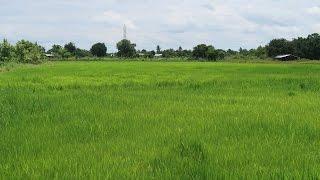 ORGANIC RICE FARM LIFE - Nong Khai Thailand 1