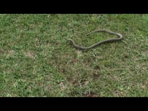 Perfect Dangerous Australian Eastern Brown Snake Part 1
