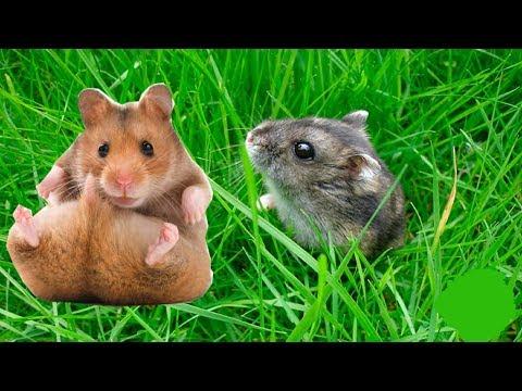 Едят ли хомяки траву? Зачем хомяку нужна трава? Какую траву можно хомякам?