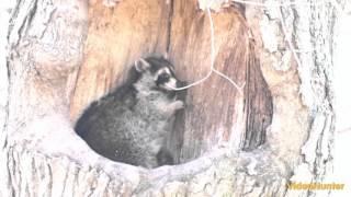 Raccoons of the Royal Botanical Gardens. Burlington. Part 1
