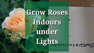 Grow Roses Indoors Under Lights: Mars TS 1000W LED Grow