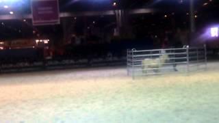 Tri de bétail Baudet du Poitou