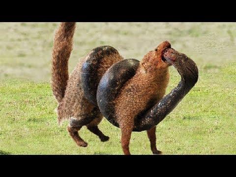 Big Battle In The Desert! King Cobra VS Mongoose - Who Will Be The Winner