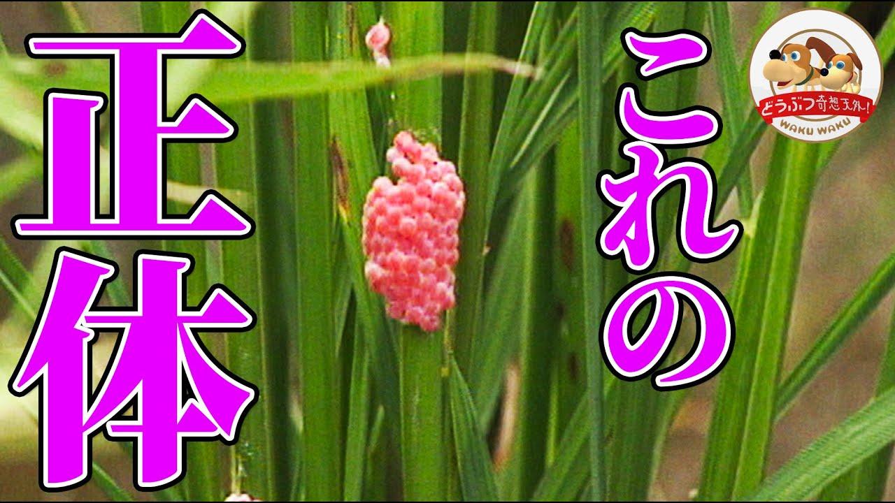 【これはナニ!?】田んぼで発見した鮮やかなピンク色をした物体…実はある生き物の卵だった!!【どうぶつ奇想天外/WAKUWAKU】