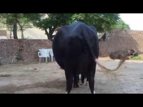 My beautiful buffalo in the world Asif Nawaz