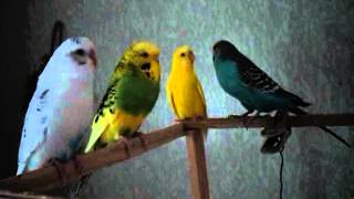 4 попугая
