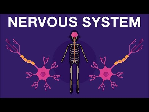 Nervous System - Get To Know Our Nervous System A Bit Closer, How Does It Works? | Neurology