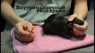 Внутримышечный укол крысе