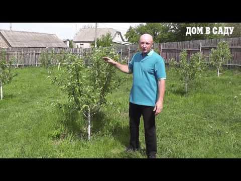 Как ухаживать за саженцами яблони садовник с 20-им стажем