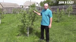 Как ухаживать за саженцами яблони(Как вырастить яблоню и правильно ухаживать за ней, чтобы собирать хороший урожай - смотрите в нашем видео...., 2016-05-13T11:28:31.000Z)