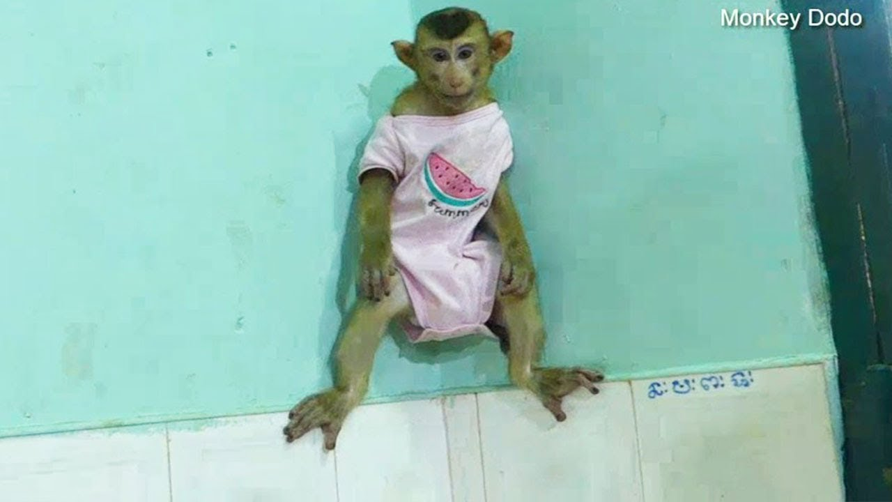 Monkey Baby Dodo Energetic Standing On The Wall So Lovely, Dodo Routine
