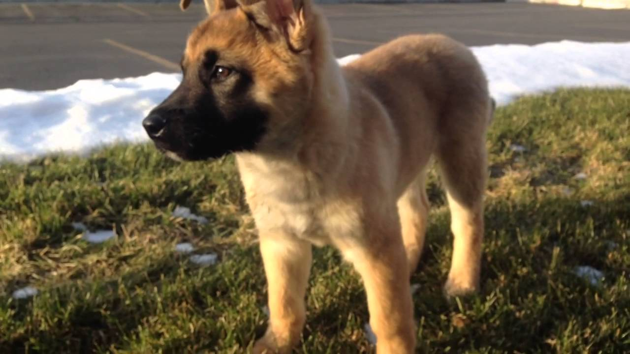 akita   german shepard mix puppy for sale   youtube
