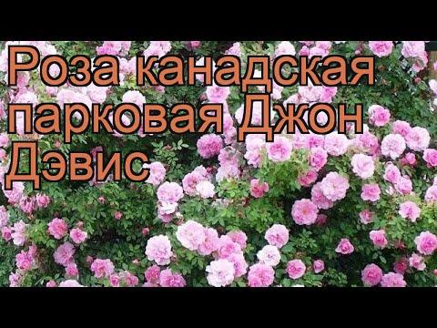 Роза канадская парковая Джон Дэвис (john davis) 🌿 обзор: как сажать, саженцы розы Джон Дэвис