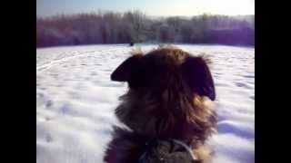 Border Terrier Sledging!