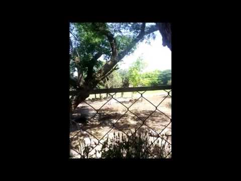 Top Tiger Facts,tiger Information, What Do Tigers Eat, Where Do Tigers Live Video