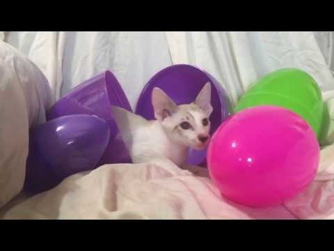 Ivan, Peterbald kitten, playing with Easter Eggs