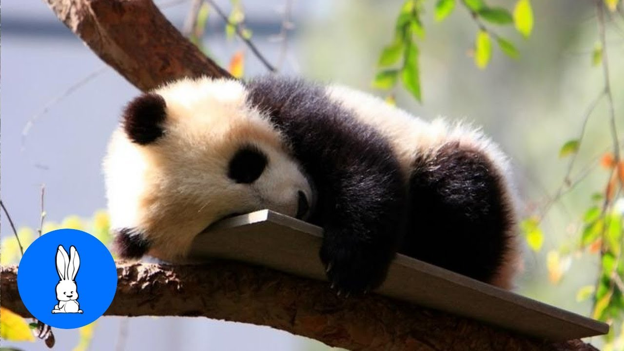 Clumsy Baby Panda Cubs - CUTEST Compilation - YouTube