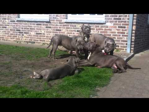 American Bully XXL Giants Of UBK