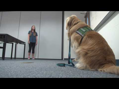 Fostering young service dogs a labor of puppy love for UF students