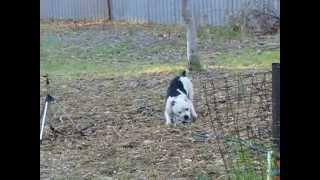 "Shayds Staffordshire Bull Terriers Perth Wa. Shayds Street Machine ""cooper"""