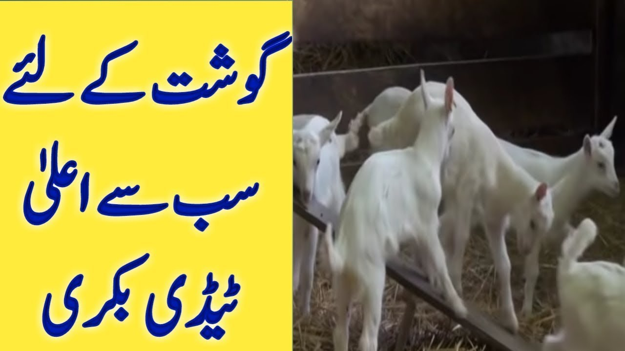 Taddy Goat Farm | taddy goat farm in Pakistan | best Goat for meat | tady  goat