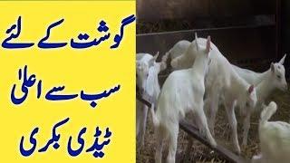 Taddy Goat Farm | taddy goat farm in Pakistan | best Goat for meat | tady goat
