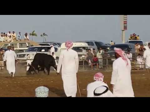 Bullfight in Fujairah United Arab Emirates held every Friday & UAE Airforce Practicing