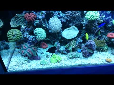 Tips For How To Mix Tangs In An Aquarium!