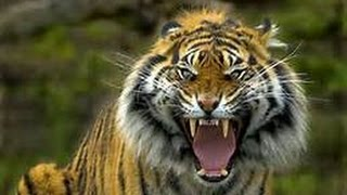 Manusia Harimau didunia NYATA