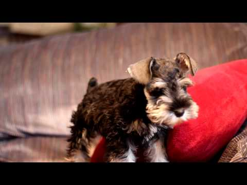Miniature schnauzer puppy 'Remmy' wants to get off the couch!!
