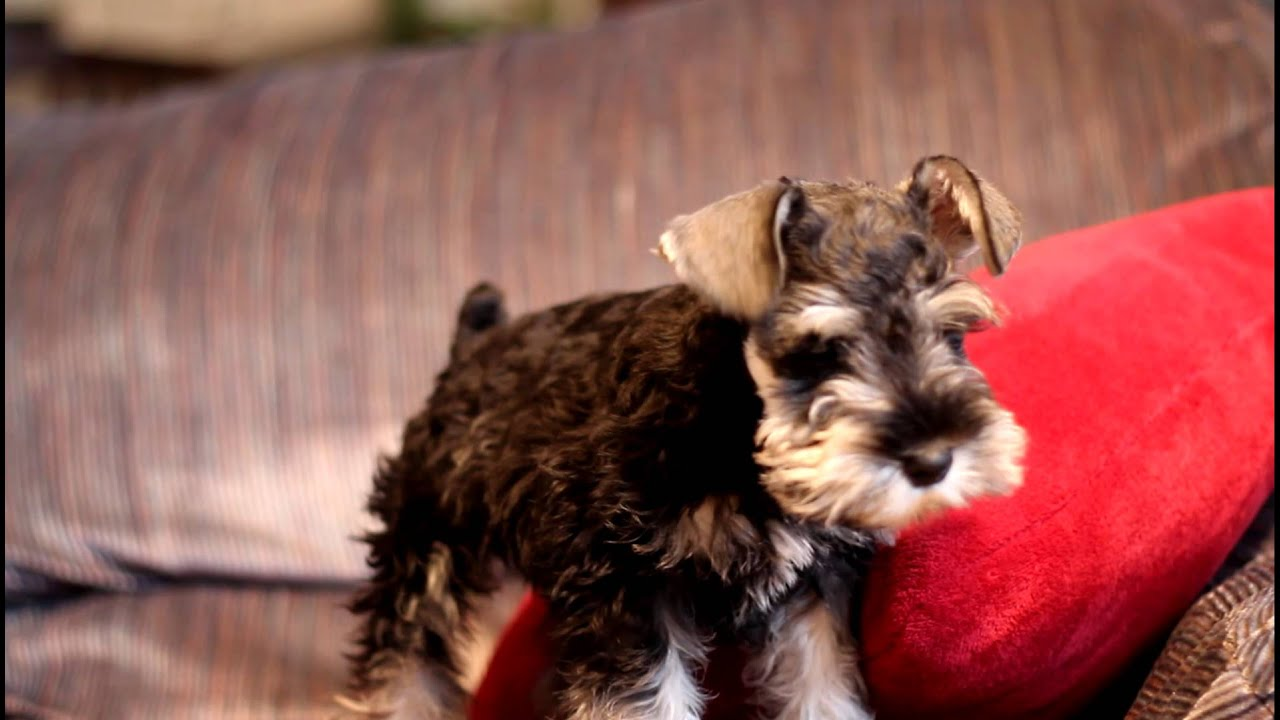 Miniature Schnauzer Puppy Quot Remmy Quot Wants To Get Off The