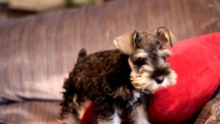 "Miniature Schnauzer Puppy ""remmy"" Wants To Get Off The Couch!!"