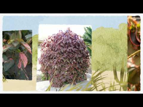 Акалифа Уилкса экзотерическое комнатное растение .