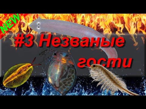 #3 Незваные гости вашего аквариума (планария, акролюкс, остракода,дафния,артемия, нематода)