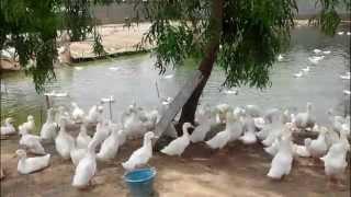 cambodia,Duck farm,kampong spoe