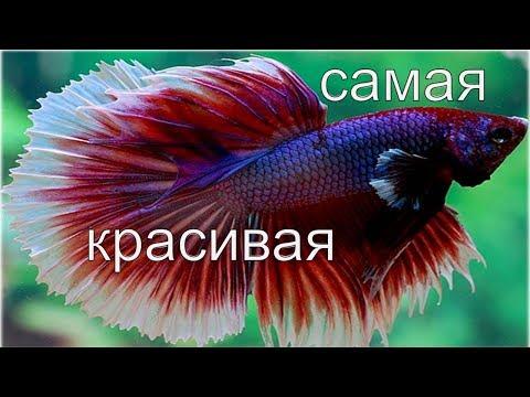 Как ухаживать за петушком рыбкой