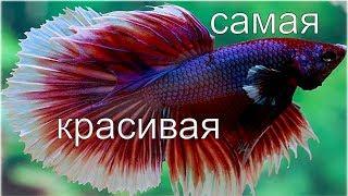 Рыбка Петушок (Betta): содержание и уход. Эксперимент с зеркалом