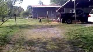 Doberman Pinscher Chasing Birds!!!!
