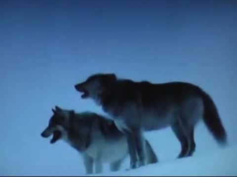 CRAZY BOY c2013 the Wolf barks at the Moon  VIDEO