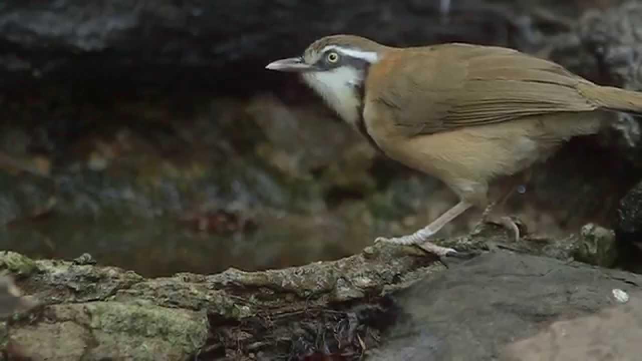 Lesser Necklaced Laughingthrush Garrulax Monileger Pikkukorutimali Thailand Youtube